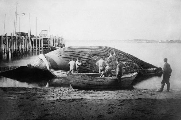 blue whale, 1900