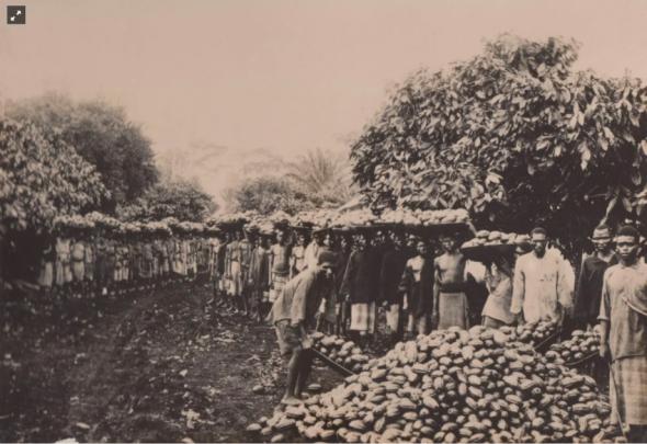Homens e mulheres na colheita do cacau. Fotografia do belga Théo Masui de visita a São Tomé em 1900 republicada no álbum do fabricante de chocolate britânico William Cadbury, em 1909 Arquivo de História Social (ICS)