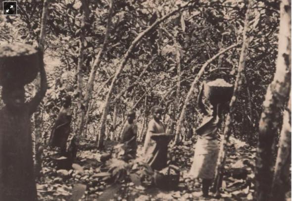 Crianças na apanha do cacau numa roça em São Tomé. Fotografia de William Cadbury Arquivo de História Social (ICS)