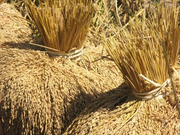 Kebur (colheita do arroz) em Cubucaré, Tombali, Guiné-Bissau. foto de Joana Sousa