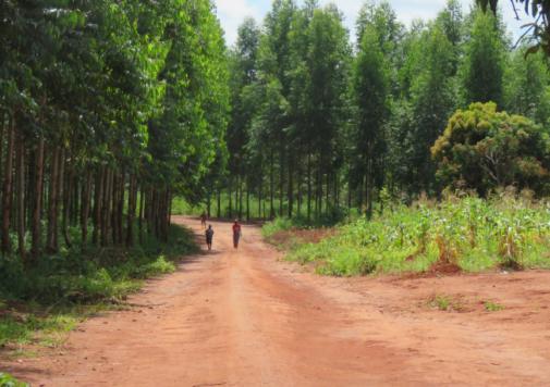 Plantações de eucalipto da Portucel em Moçambique. Justiça Ambiental