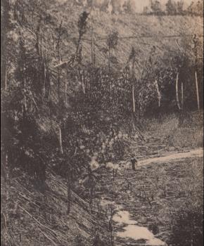 Destruição da floresta tropical em São Tomé para plantar cacau. Álbum de fotografias de William Cadbury Arquivo de História Social (ICS)