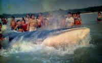 Vida e morte de uma Baleia-Minke no interior do Pará e outras histórias da Amazônia